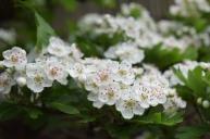 Hawthorn flowers 03