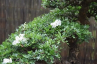 Hawthorn flowers 04