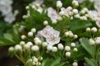 Hawthorn flowers 05