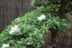 Hawthorn flowers 08