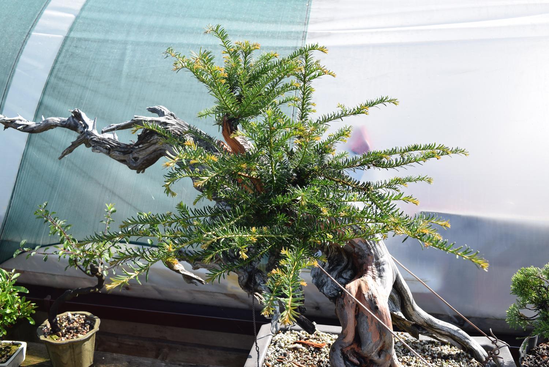Groovy Amazing Growth On An Ancient Yamadori Yew Bonsai Yamadori From Wiring Digital Resources Honesemecshebarightsorg