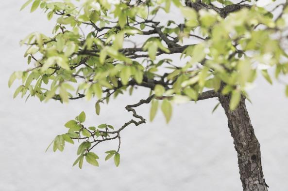 Voss-bonsai005