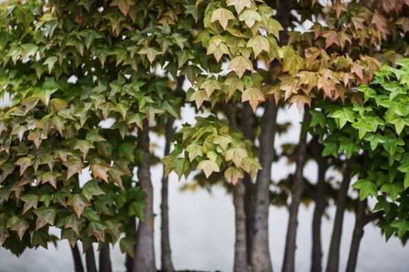 Voss-bonsai006