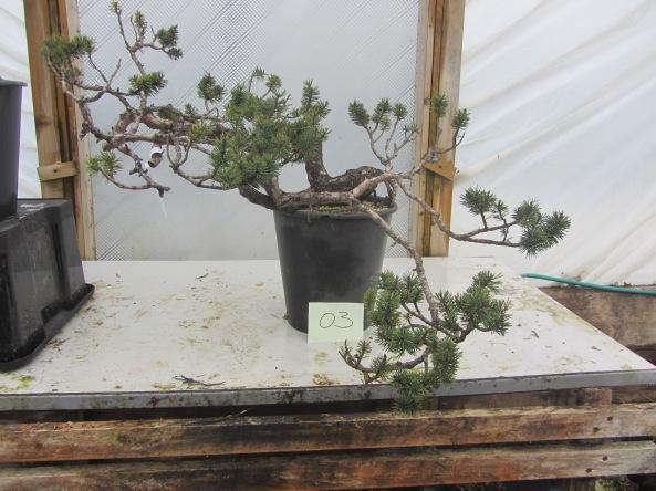 Pine 03a