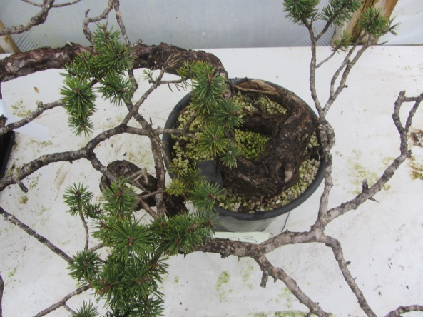 Pine 03b