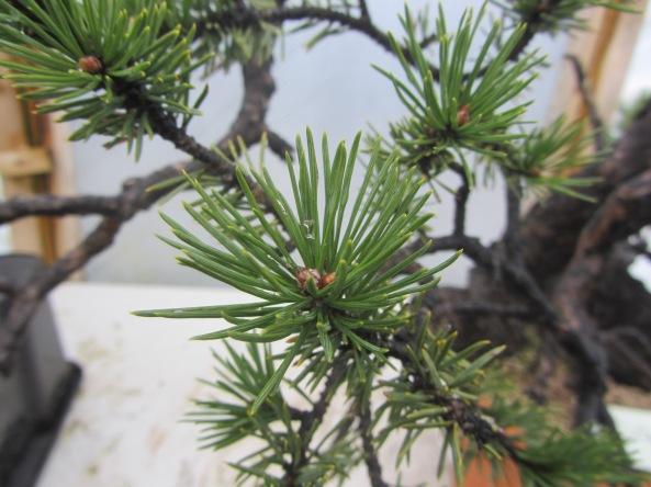 Pine 04b