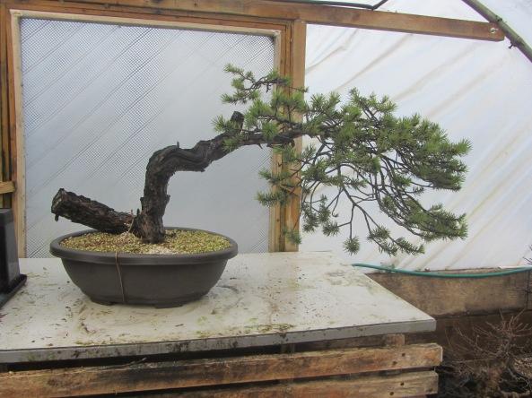 Pine 05a