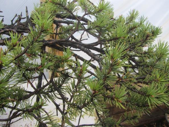 Pine 05c