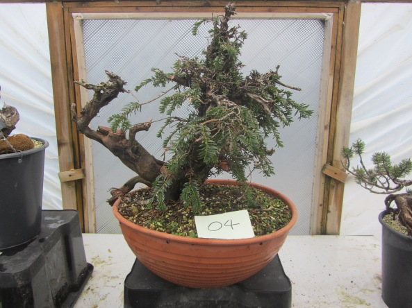 Yew 04a