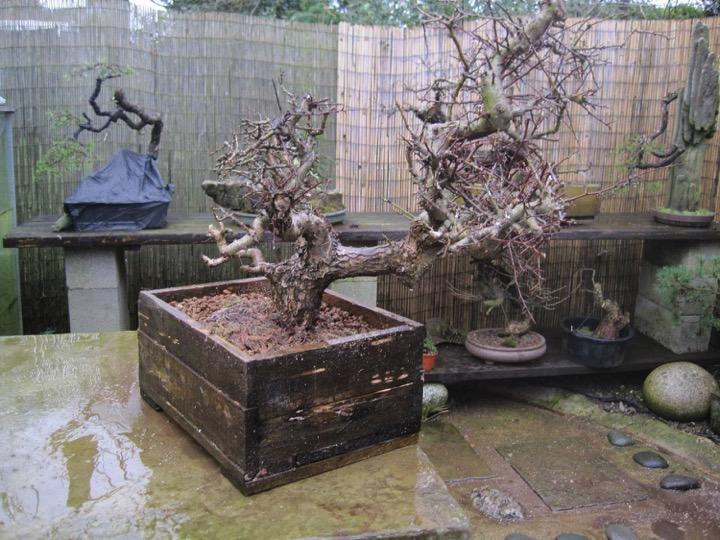 Improving The Success Rate Of Yamadori Bonsai Yamadori From Tony Tickle