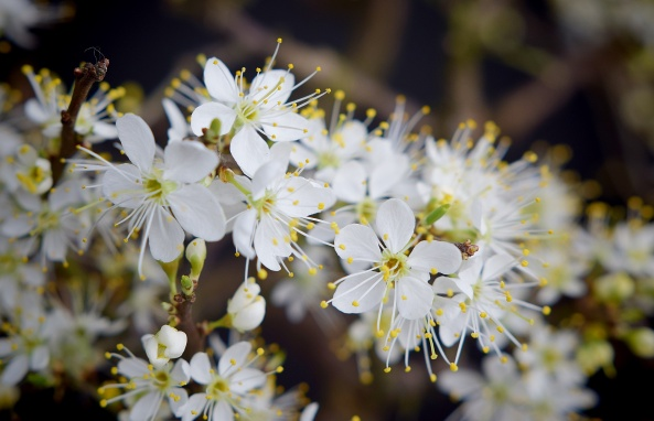 Blackthorn Flowers small