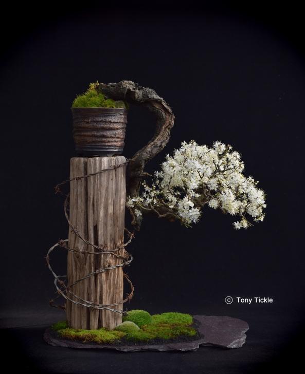 Blackthorn in Flower Feb 16 V.04 small