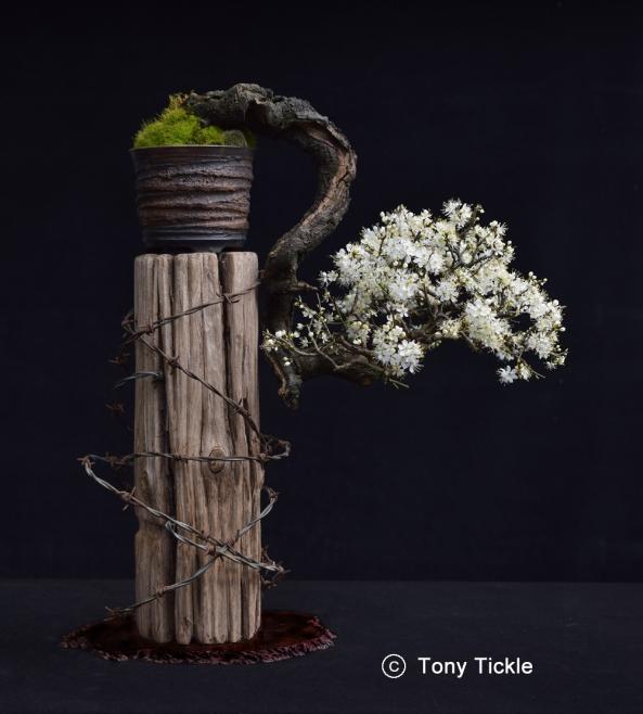 Cascade Blackthorn in Flower Feb 16 V03