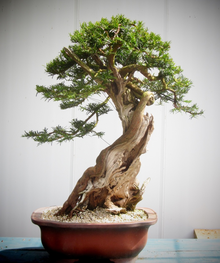 tall Yew