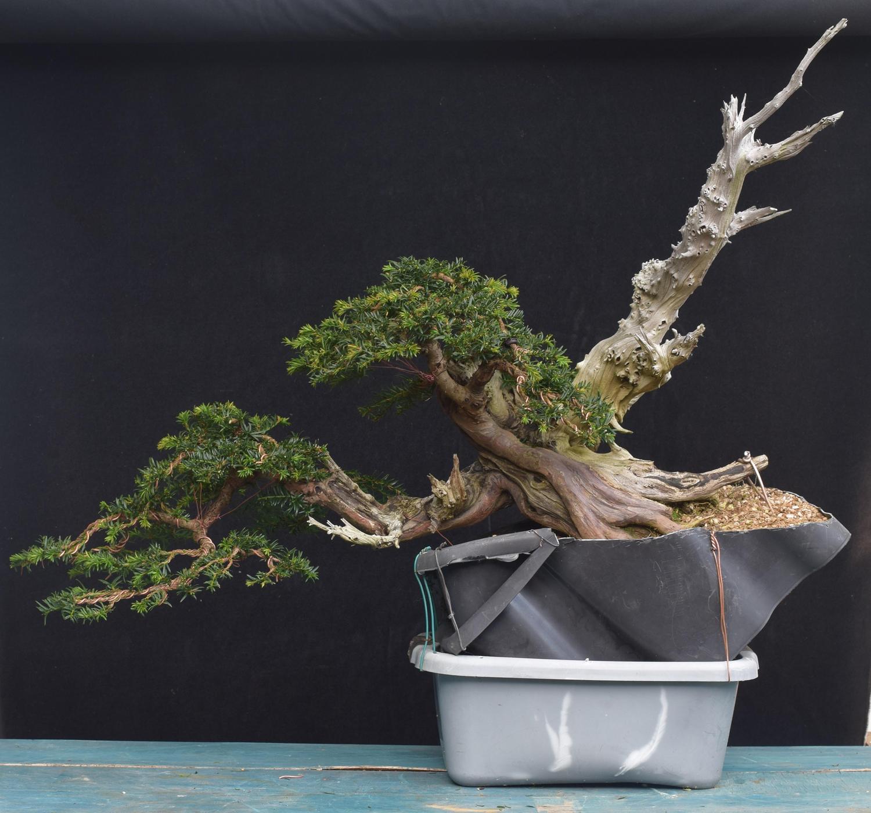 han kengai yew second wiring and deadwood bonsai yamadori from rh yamadori co uk Larch Bonsai Large Bonsai Tree
