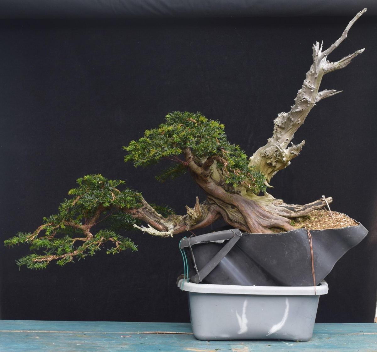 Styling Bonsai Yamadori From Tony Tickle Wiring In Han Kengai Yew Second And Deadwood