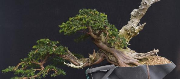 Miraculous Han Kengai Yew Second Wiring And Deadwood Bonsai Yamadori From Wiring Digital Resources Antuskbiperorg
