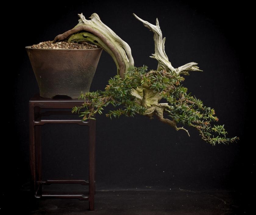 semi cascade yew