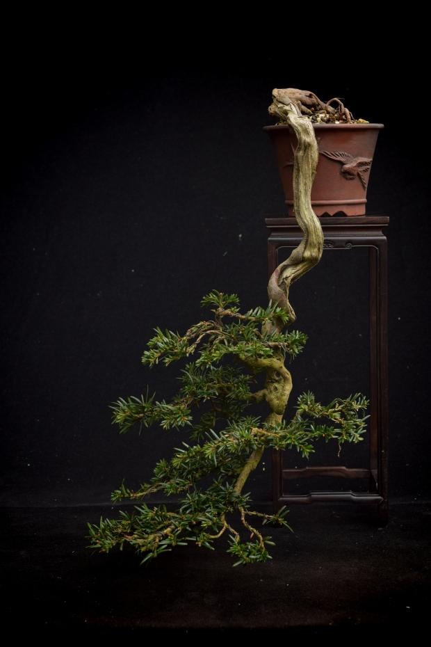 thin cascade yew