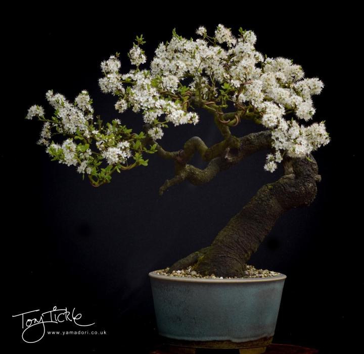 Large Prunus signature