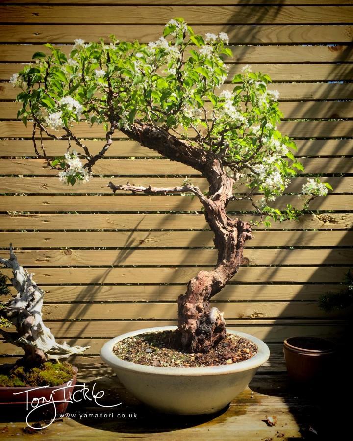 Prunus Mahaleb signature