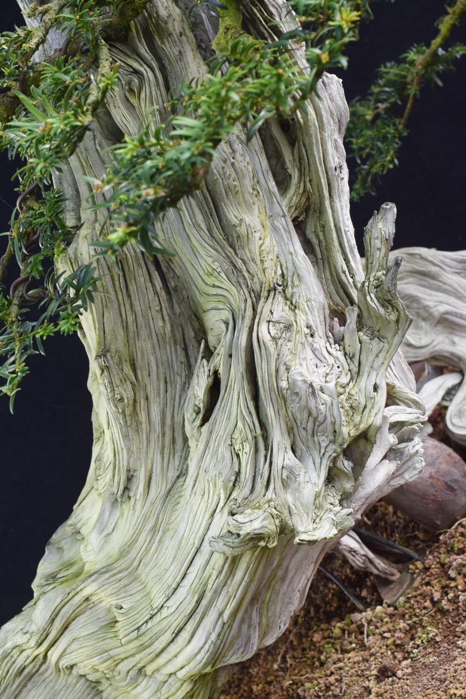 deadwood on Yew 02