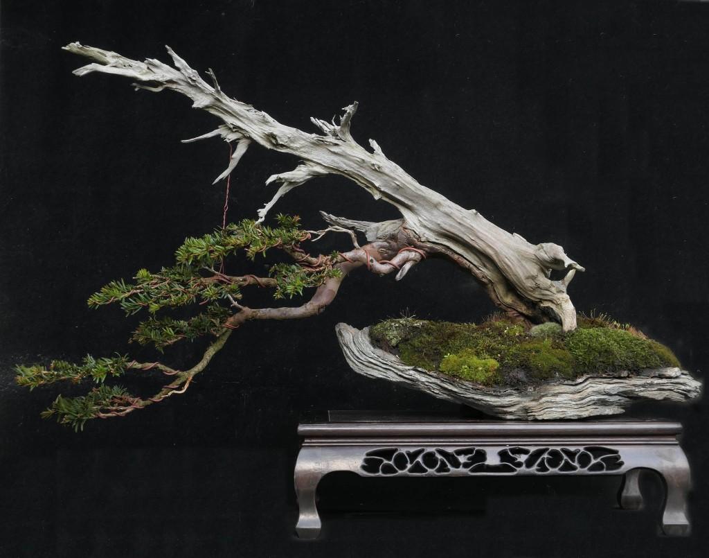 Yamadori Yew
